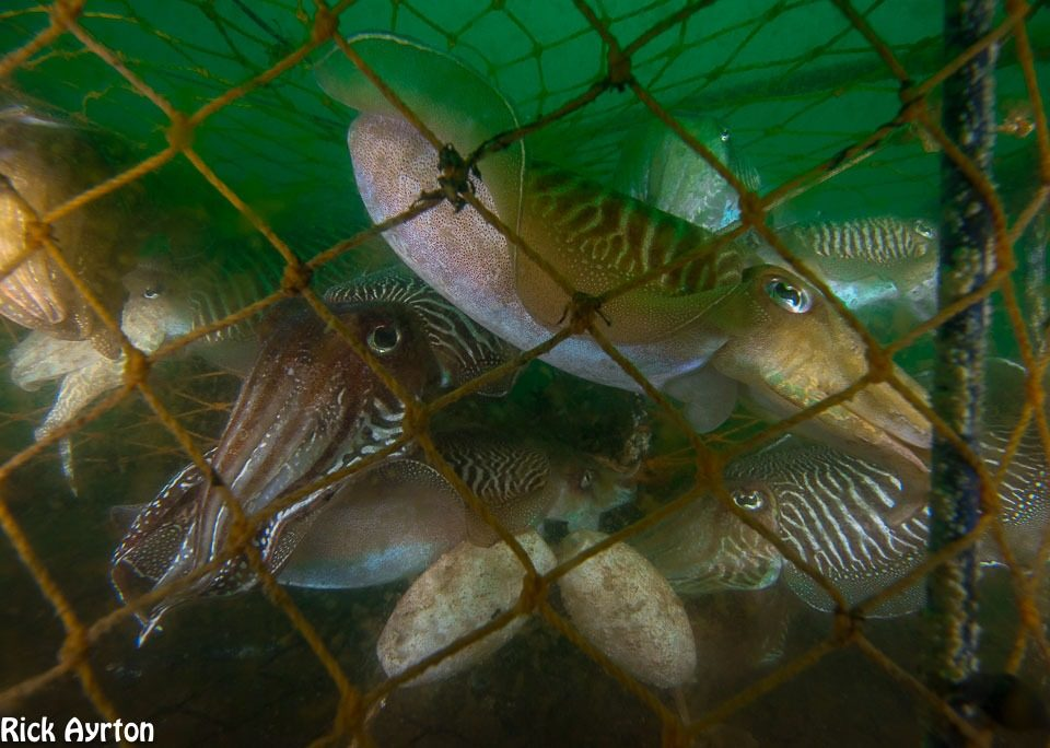 Cuttlefish caught in a pot